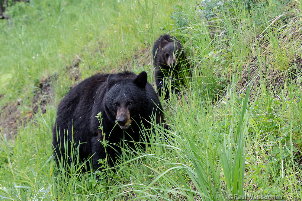 Black Bear and cub at Yellowstone National Park, Wyoming