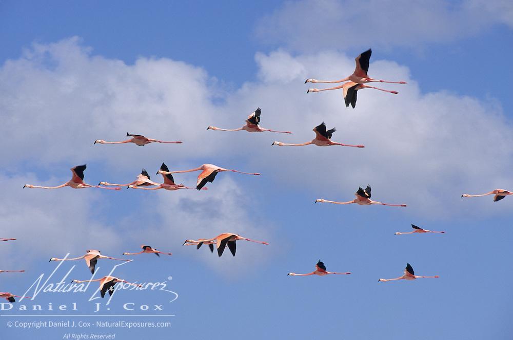 West Indian Flamingo (Phoenicopterus ruber) flying over Lake Windsor, Great Inagus, Bahamas.