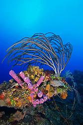 Porous Sea Rods, Pseudoplexaura sp., Stove-pipe Sponge, Aplysina archeri, many kinds of sponge species and stony corals, thriving, West End, Grand Bahama, Bahamas, Caribbean, Atlantic Ocean