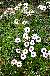 Osteospermum 'F1 Akila White Purple Eye' with Euphorbia hypericifolia Diamond Frost syn. 'Inneuphe' and Salix purpurea 'Nancy Saunders' AGM