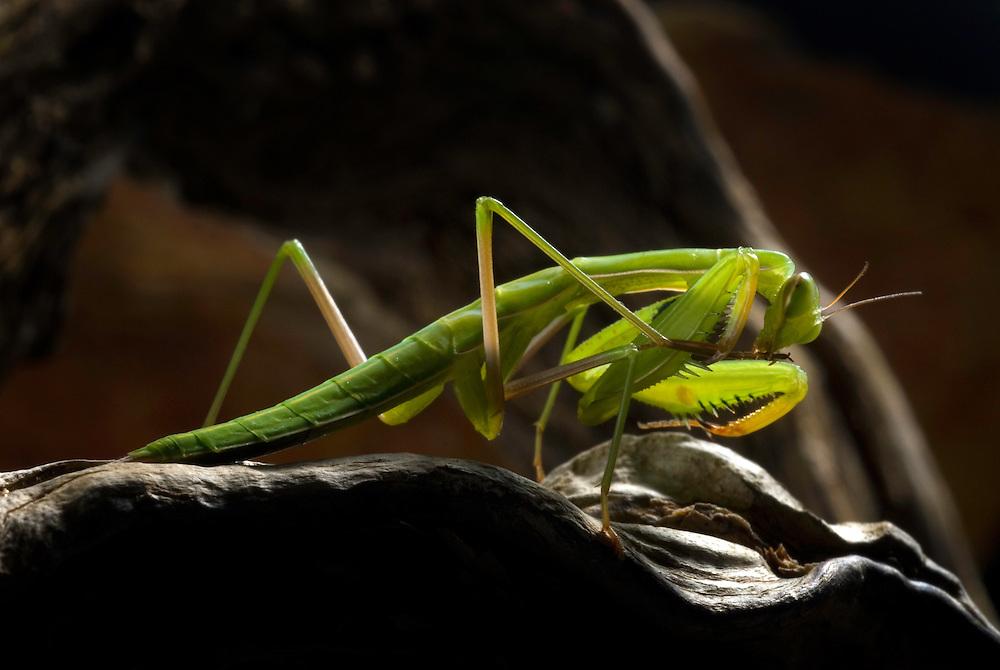 Praying mantis, Mantodea, Southwest Alentejo and Vicentine Coast Natural Park, Portugal