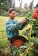 Coffee Farm, Kona, Island of Hawaii