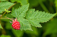 The salmonberry is highly variable in color when ripe, ranging from a golden yellow, bright orange, to vivid red. Much like it's cousin the raspberry in both structure and texture, and are semi-hollow when picked. Historically a very important foodsource for the native peoples of the Pacific Northwest, not only the berries, but the new green shoots can be peeled and steamed as a vegetable.