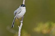 Black-tailed Gnatcatcher - Polioptila melanura - Adult male breeding