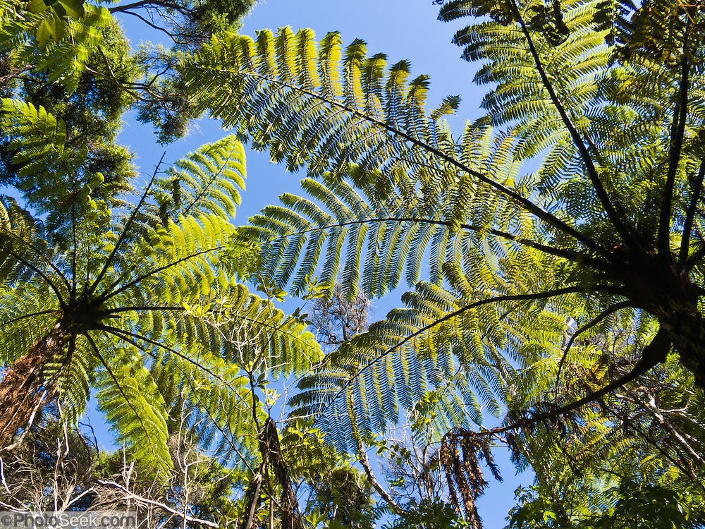 """Tree ferns, Abel Tasman National Park, South Island, New Zealand. Published in """"Light Travel: Photography on the Go"""" by Tom Dempsey 2009, 2010."""