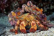 elegant or hairy hermit crab, Aniculus elegans, Galapagos Islands, Ecuador,, ( Eastern Pacific Ocean )