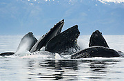 Alaska. Humpback Whales bubblenet feeding (Megaptera novaeangliae)A group of whales swims rapidly in wide circles around and under a school of fish, blowing air through their blowholes. The bubbles form a visual barrier that serves to confine the school within an ever-tighter area. The whales then suddenly swim upwards and through the bubble net, mouths agape, swallowing thousands of fish in one gulp.