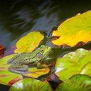 Large northern green frog soaking up the sun while resting on a lily pad in a garden pond.