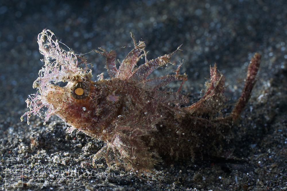 Profile of an Ambon scorpionfish (Pteroidichthys amboinensis)