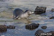 Hawaiian monk seal, Monachus schauinslandi, coming up to the beach at Kahaluu Beach Park, Kahalu'u Beach, Kailua Kona, Hawaii Island ( the Big Island ) Hawaiian Islands ( Central Pacific Ocean )