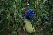 David Thomas,42, pictured here with his daughter, spends his days producing perfectly proportioned vegetables for supermarkets but in the evening he devotes himself to his hobby growing outsized vegetables. Giant vegetable growing is not a hobby for the faint hearted. The growers have to tend to the vegetables almost every day (including Christmas) spending up to 80 hours a week, tending, nurturing, growing and spending thousands on fertilisers, electricity and green houses. The reward is to be crowned world record holder of largest, longest or heaviest in class, cabbages weighing in at 100lb, carrots stretching 19 ft and pumpkins tipping the scales at 800lb. It's a competitive business though and global; some times the record may stand for only hours before a fellow competitor, somewhere,  knocks a grower off the coveted spot.