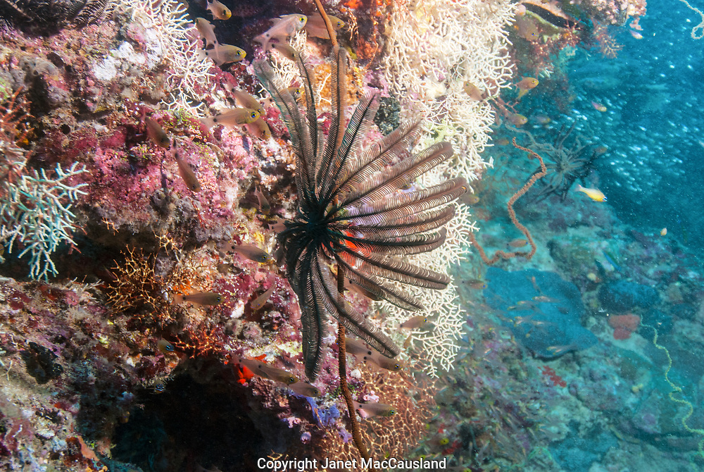 A Black Crinoid and white Gorgonians contrast on a Maldives reef.