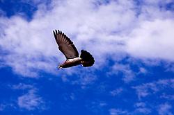 Un colombo in volo sul cielo di Ostuni