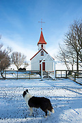 Collie type dog guarding quaint typical traditional church Braedratungukirkja with red roof in snowy landscape in Iceland