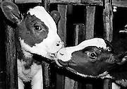 Calf licking another calf