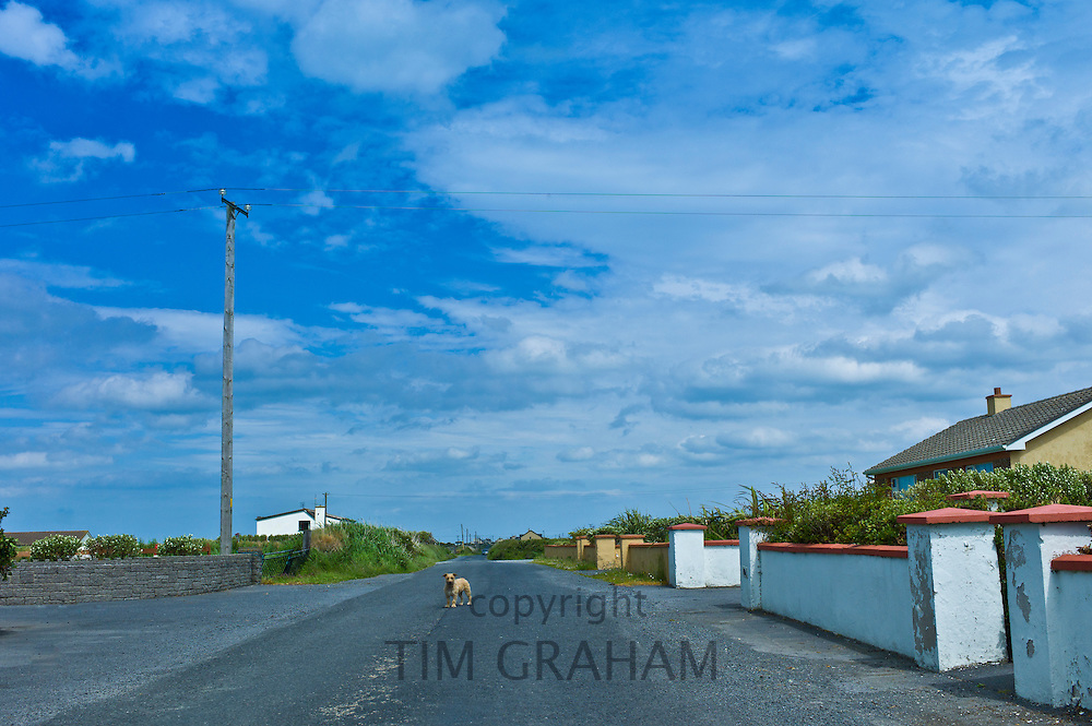 Tan terrier dog guards his home in County Clare, West of Ireland