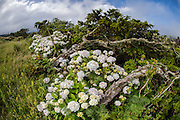 Hortensias aka Hydrangeas and trees weathered by the wind and cold at the base of Pico da Urze at roughly 900 meters on the island of Pico, Azores, Portugal, North Atlantic Ocean.