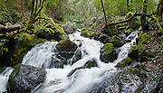 Admire lush green forest on Cataract Creek Trail, Mount Tamalpais Watershed, Marin County Municipal Water District, California, USA. Panorama stitched from 6 overlapping photos.