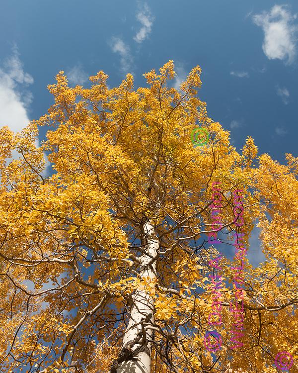 Golden aspen  against blue sky,  autumn, Greater Yellowstone Ecosystem, Wyoming. © David A. Ponton