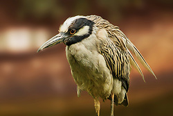A Yellow Crowned Night Heron with an intimidating pose.