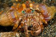 Anemone Hermit Crab (Dardanus pedunculatus) in Lembeh Strait, Indonesia.