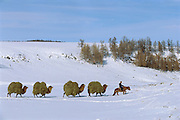 Bactrian Camel (Camelus bactrianus) caravan packing hay, Darkhad Depression, Mongolia