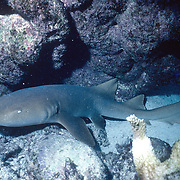 Nurse Shark inhabit shallow water to outer reefs, often lay on sand under ledges and overhangs in Tropical West Pacific; picture taken Key Largo, FL.