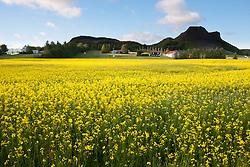 Buttercups at farm in Thjorsardalur, Iceland - Sóleyar við bóndabýli við Þjórsárdalsveg