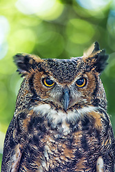Like most owls, the Great Horned Owl makes great use of secrecy and stealth. Due to its natural-colored plumage, it is well camouflaged both while active at night and while roosting during the day. Despite this, it can still sometimes be spotted on its daytime roosts, which are usually in large trees but may occasionally be on rocks. This regularly leads to their being mobbed by other birds, especially American Crows (Corvus brachyrhynchos). Since owls are, next to Red-tailed Hawks, perhaps the main predator of crows and their young, crows sometimes congregate from considerable distances to mob owls and caw angrily at them for hours on end. When the owls try to fly off to avoid this harassment, they are often followed by the corvids.