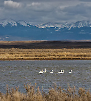 Tundra Swans. Arapaho National Wildlife Refuge. Image taken with a Nikon D2XS and 200-400 mm f/4 VR lens (ISO 400, 200 mm, f/8, 1/1600 sec). Raw image processed with Capture One Pro 6, Photoshop CS5, Nik Define, Nik Color Efex Pro 2.