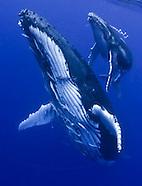 Tonga Whales and Vava'u