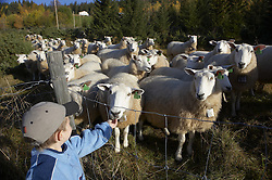 Sheep and boy