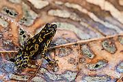 Pebas Stubfoot Toad (Atelopus spumarius)<br /> Mapari River<br /> Rupununi<br /> GUYANA<br /> South America<br /> Native to: Brazil, Colombia, Ecuador, French Guiana, Guyana, Peru & Suriname