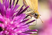 Lulworth skipper (Thymelicus acteon) on knapweed. Dorset, UK.