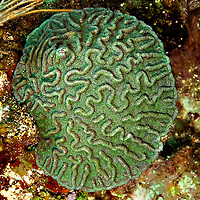 Ridged Cactus Coral, Mycetophyllia lamarckiana, Grand Cayman