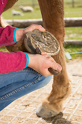Woman cleaning horse's hoof, Bavaria, Germany