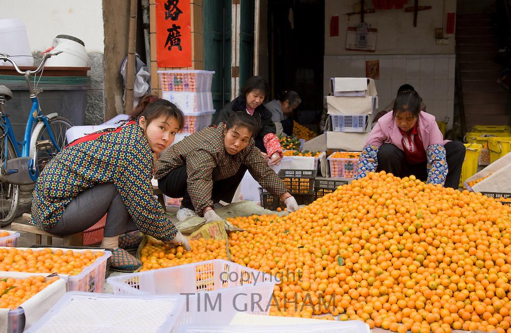 Women working to sort kumquats in market town of Baisha near Guilin, China