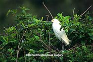 00696-00819 Snowy Egret (Egretta thula) at nest with nestlings Yazoo National Wildlife Refuge, MS