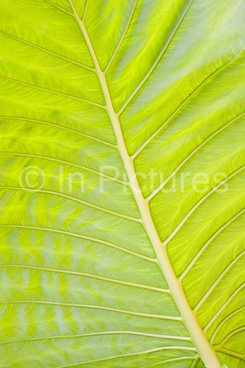 Reverse of a giant leaf in the National Park area of Koh Lanta