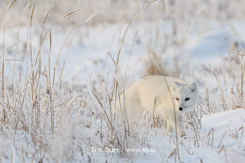 Churchill, Canada<br /> Perfectly suited to its environment, an arctic fox on the prowl brushes by a blade of grass, spilling its load of snow to the ground...Look closely at the eyes of the Arctic Fox - one pupil is larger than the other....<br /> If you're fortunate to see the fall/winter sun in the arctic, you know the low angle it follows will guarantee top quality light for photography at any hour it is shining. As November turns to December the sun barely blips the horizon, and this high-quality, but rapidly diminishing, light may make for interesting pictures, it also presents challenges to any wildlife that live there.<br /> <br /> This is winter time in the arctic, and the animals here are ready to handle it. The most obvious winter adaptation of the arctic fox is the white fur. This fur is also the most dense fur of any land animal yet studied, providing excellent insulation. But if you look closely at the eyes of this white fox, you may notice two things. The first is that the pupils are slits, and the second is that shadowed eye is significantly more dilated than the bright eye. The moment before, this fox was looking towards the sun with both eyes, and the pupils were more or less equal in size.<br /> <br /> The arctic fox is crepuscular, preferring twilight, so it must adeptly handle this transition from light to dark (or vice-versa). The slit pupils and acute sensitively to light are an adaptation for these conditions. And the arctic fox is particularly well suited for the almost perpetual twilight it experiences for so many months each year. Alternatively, in summer the slits may also protect the eye by restricting the amount of light that can enter during the long hours of daylight.<br /> <br /> Canon EOS 1DX, Canon EF 600mm f/4 L IS II USM, Canon Extender EF1.4× III, handheld<br /> 1/500s; f/9; 840mm; ISO800