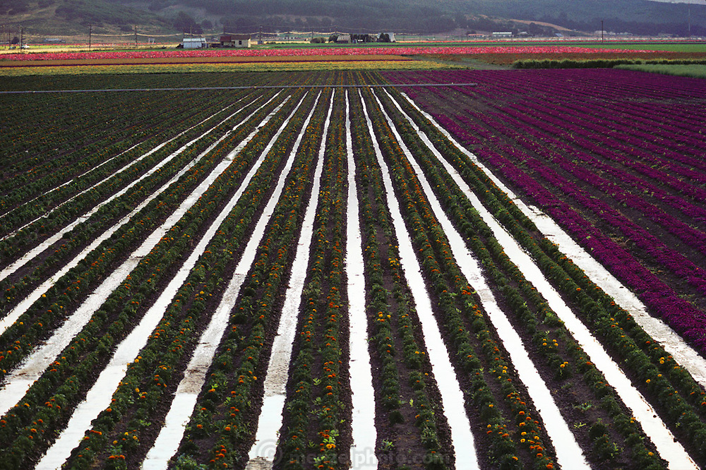 Irrigation: flood irrigation of flower fields grown for seed in Lompoc, California. USA.