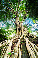 Old twisted tree roots, Munnar, Western Ghats Mountains, Kerala, India