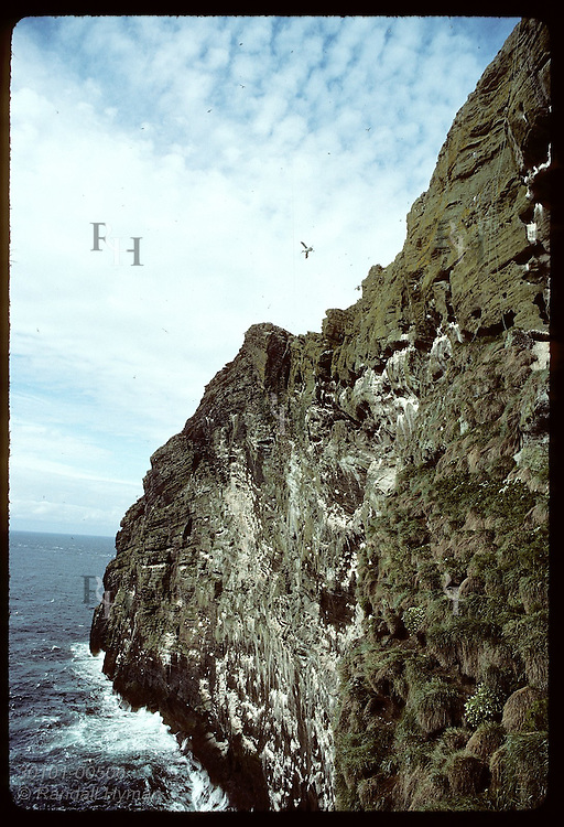 Murres and kittiwakes nest on cliffs, filling sky as they fly to & fro;Bjarnarey/Westmann Islands Iceland