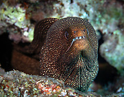 Moray eels, or Muraenidae, are a family of eels, Hawaii, Big Island