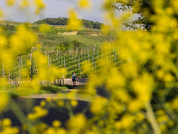 Woman hiking through vineyard terraces and village of Oberrotweil, Baden-Wuerttemberg, Germany