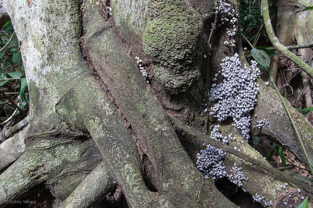 Group of mushrooms. Los Amigos Conservation Concession run by the Amazon Conservation Association and the Asociación para la Conservación de la Cuenca Amazónica. The concession is on the Rio Madre de Dios and the Rio Los Amigos. It protects lowland rainforest in the Los Amigos - Tambopata Conservation Corridor and has a biological research station called CICRA.