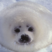 Harp Seal, (Pagophilus groenlandicus) Pup on ice pack. Nova Scotia. Canada. Spring.
