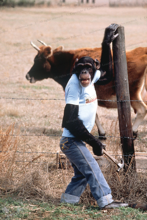 Cedo, a chimp that was taught by his owner to do chores at his farm in Bogue Chitto, Mississippi repairs a fence with his owner, Linsber, Brister.