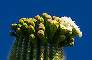 Saguaro cactus in bloom, Arizona-Sonora Desert Museum, Tucson, Arizona USA