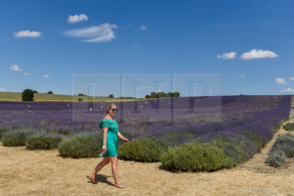 © Licensed to London News Pictures. 24/07/2018. ICKLEFORD, UK.  A woman walks by the lavender field at Hitchin Lavender farm during the continuing heatwave.  Currently in full bloom, the lavender and colourful sunflowers attract visitors from far and wide to this popular family run farm. Photo credit: Stephen Chung/LNP